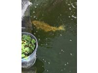 free pond clearance