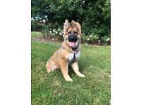 German shepherd puppy KC reg