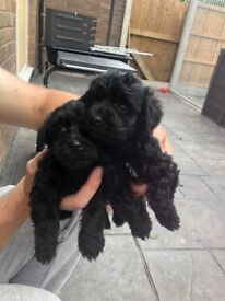 Yorkypoos 1 boy 2 girls available