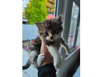 Tabby and white fluffy kittens 2 girls 1 boy