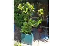 Bay tree (laurel leaves)