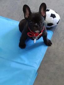 Gorgeous french bulldog girl