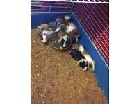 Baby guinea pig eight weeks ago