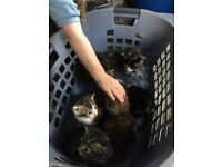 Tabby kittens ready for their new homes