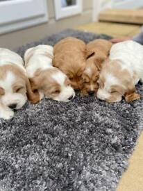 Cocker spaniel show type puppies
