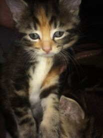 Beautiful kittens for sale tortoise shell & grey tabby parents