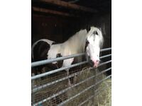 Black /white mare