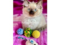 Magnificent Fluffy 3 Female & 1 Male Ragdoll Kittens Ready To Go