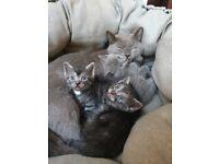 Gorgeous Blue Shorthair kittens