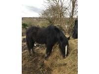 Black cob colt