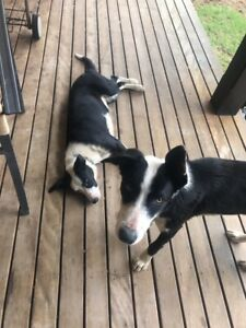 Border collie pups 5 months old $150 ono for both