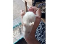15 baby fancy rats available for good homes. Male and female available