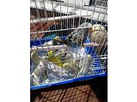 13 budgies for sale