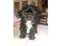 Shichon / zuchon (shi tzu x bichon ) bitch puppy