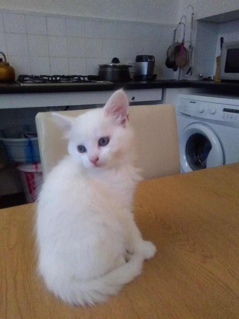 White Turkish Angora Cat For Sale