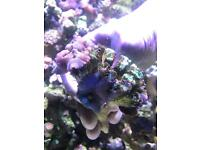 Marine Coral purple mushrooms 7 heads with some candy cane