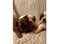 Tibalier puppies for sale.