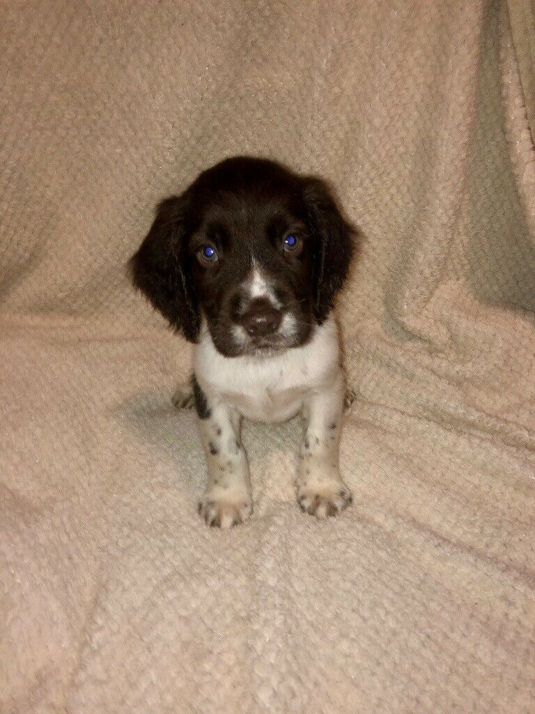 1 Male English Springer Spaniel Puppy In Stourport On Severn Worcestershire Gumtree