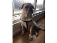Male chinchilla pug for sale