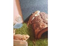 CHEAP!!! 2 Bearded Dragons with vivarium and acssesories!!!