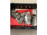 Bengal cross X British shorthair cross kittens *FOR SALE £600*