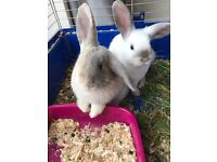2 lovely mini lops with cage and accessories