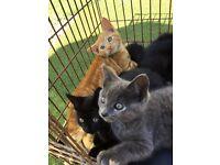 11 week old ginger kitten for sale