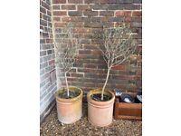 Olive Trees in lovely terracotta pots