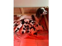 ENGLISH SPRINGER SPANIEL LIVER & WHITE PUPPIES EXTREMELY WELL BRED FANTASTIC PEDIGREE
