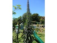 17 Plants Including 3 Tower Of Jewels Echium As Gardeners World Last Week plus other plants