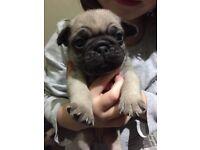 Kc reg pug puppies chunky and playful