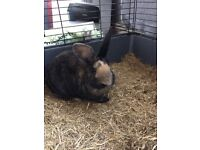 3 month old female Rabbit, cage and supplies available