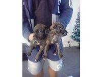 Prezza cross mastif puppies for sale