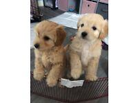 Very small fluffy babies 2 pompoo boys available