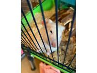 White Syrian hamster ( dwarf gerbril )