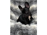 REDUCED French Bulldog Puppies