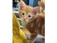 Beautiful Tabby Kittens