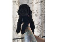 Cockapoo puppies, black and white,mostly curly, boys and girls.