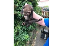 5 Ferret Kits for Sale