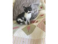 Lovely little kittens, litter trained and wormed