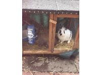 2 rabbits male and female and hutch