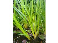 Fish pond plants & Lilly