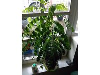 Curry Leaf Plant - for sale