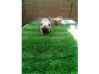 Pug female 10months old