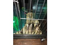 Degus, cage and accessories for sale