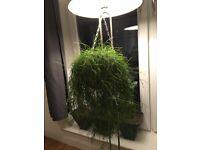 Rhipsalis Baccifera (40 cm approximately, 1 House Plant, Hanging basket, basket included)