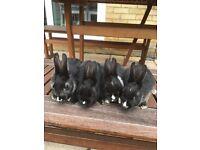 Dwarf rabbits .