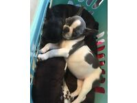 2 beautiful kc reg frenchbulldog pups ready for new homes blue gene carriers price negotiable
