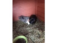 2 Male Guinea pigs free to a good home. Roughly 6 months old.