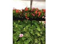 Bedding plants - geraniums, begonias and busy lizzies